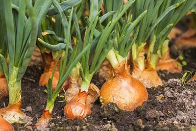 Mandalyn Onion