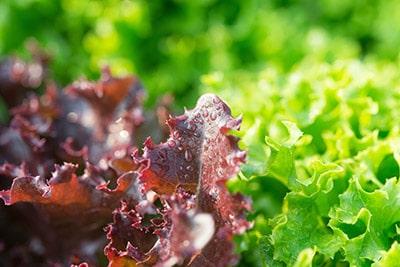 Pellet Lettuce, Red Butterhead